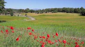 Papaver en graangewassengebied dichtbij een kleine weg bij de lente stock video