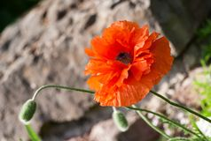 Papaver eye catcher, red-orange large terry flower poppy grows in a natural environment. A sunny day, a beautiful big flower in full bloom and two buds, large Stock Photo