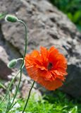 Papaver eye catcher, red-orange large terry flower poppy grows in natural environment,. Sunny day, beautiful big flower full bloom and two buds, large stone Stock Photography