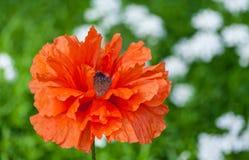 Papaver eye catcher, red-orange large terry flower poppy grows Royalty Free Stock Image