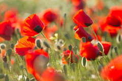 Papaver field Royalty Free Stock Photography