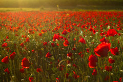 Papaver field Royalty Free Stock Photos