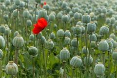 Papaver field single poppy flower Royalty Free Stock Photos