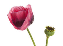 Papaver - flor do somniferum e vagem da semente imagem de stock royalty free