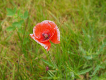 Papaver flower Royalty Free Stock Images