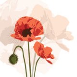 Papaver graphic Stock Photos