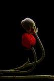 Papaver met dauw Royalty-vrije Stock Foto