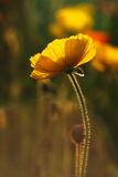 Papaver nudicaule Royalty Free Stock Photography