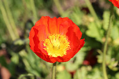 Papaver nudicaule Royalty Free Stock Images