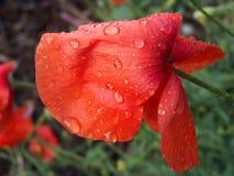Papaver op het gebied met regendruppels royalty-vrije stock foto's