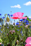 Papaver op Wildflower-Gebied Stock Foto's