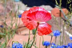 Papaver op Wildflower-Gebied Royalty-vrije Stock Fotografie