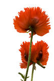 Papaver Orientale Stock Photos