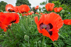 Papaver Orientale, Blumen der orientalischen Mohnblume Stockfoto