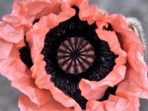 Papaver orientale Royalty Free Stock Image