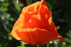 Papaver Orientale/Mohnblume auf einem Sonnenuntergang lizenzfreies stockfoto
