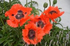 Papaver Orientale/Oosterse Poppy Flower Royalty-vrije Stock Afbeelding