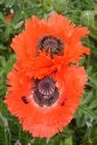 Papaver Orientale/Oosterse Poppy Flower Royalty-vrije Stock Fotografie
