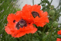 Papaver Orientale / Oriental Poppy Flower Stock Photography