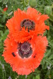Papaver Orientale / Oriental Poppy Flower Royalty Free Stock Photography