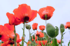 Papaver Orientale, oriental poppy flowers Stock Photography