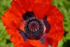 Oriental poppy, close-up of single red flower stock photos