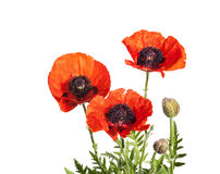 Papaver orientale over white background Royalty Free Stock Photography