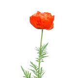 Papaver orientale over white background Royalty Free Stock Images