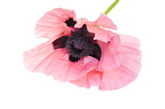 Papaver orientale Royalty Free Stock Images