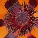 Papaver orientale Tuerkenlouis, Oriental poppy Stock Photo