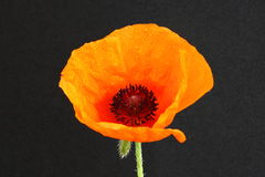 Papaver (poppy) Royalty Free Stock Photo