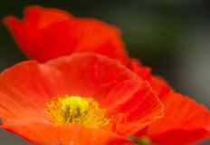 Papaver poppy flower on background of green leafs Stock Images