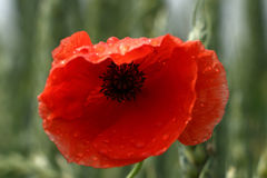 Papaver. A poppy shines after rain Stock Image
