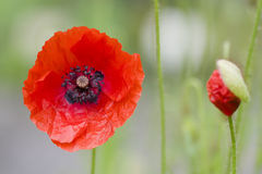Papaver Rhoeas Royalty Free Stock Photo