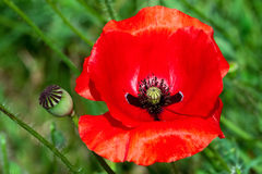 Papaver Rhoeas Stock Photo