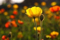 Papaver rhoeas Stock Photography