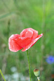 Papaver rhoeas Royalty Free Stock Image