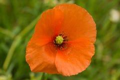 Papaver rhoeas, common poppy, botanic. Papaver rhoeas, with common names as common poppy, corn poppy, corn rose, field poppy, Flanders poppy, red poppy, red weed Stock Photo