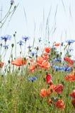 Papaver rhoeas common poppy and Centaurea cyanus cornflower annual herbal blooms in spring to summer royalty free stock image