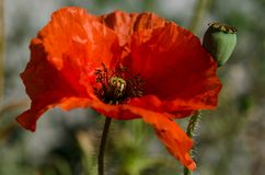 Red poppy - papaver rhoeas stock photography