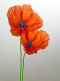 Papaver rhoeas. Corn Poppy aka Field Poppy, Flanders Poppy. Stock Photos
