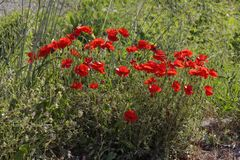 Papaver rhoeas, Corn Poppy, Corn Rose, Field Poppy, Flanders Poppy, Red Poppy Royalty Free Stock Image