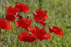 Papaver rhoeas, Corn Poppy. Corn Rose, Field Poppy, Flanders Poppy, Red Poppy, Red Weed, Coquelicot royalty free stock image