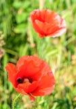 Papaver rhoeas czerwony kwiat Obraz Royalty Free