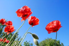 Papaver Rhoeas Flowers Royalty Free Stock Photos