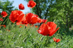 Papaver Rhoeas Flowers Stock Photos
