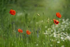 Papaver rhoeas, common, corn, Flanders, red poppy, corn rose, field is flowering plant poppy family Papaveraceae. Honey plants. Papaver rhoeas flowers, red, corn stock photography