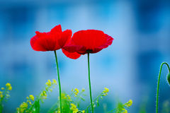 Papaver rhoeas Royalty Free Stock Images