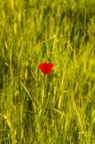 Papaver Rhoeas (Kukurydzany maczek, kukurudza Wzrastał Śródpolny maczek, Flandryjski maczek, Czerwony maczek, Czerwona świrzepa,  Zdjęcia Stock