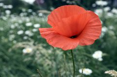 Papaver rhoeas meadow flower in bloom. Single red flower amont white flowers Royalty Free Stock Photography